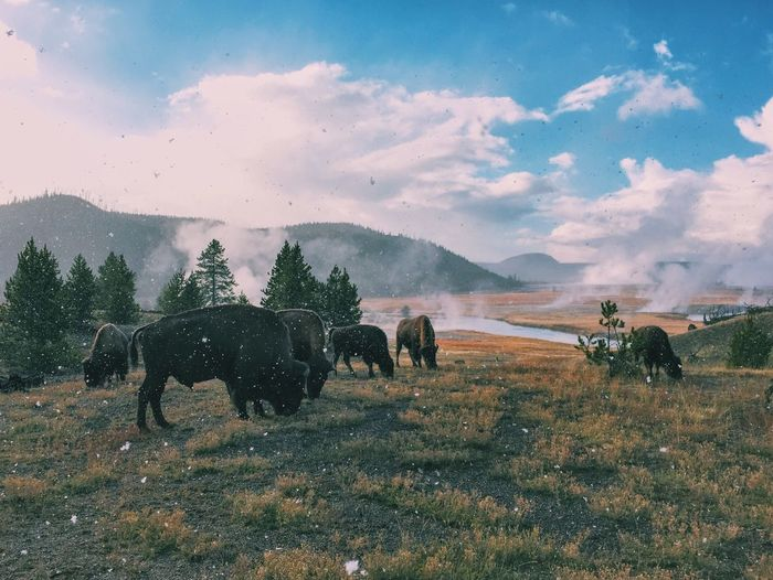 Bison Grazing On Field Against Cloudy Sky During Winter Season At Yellowstone National Park