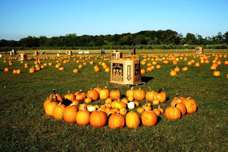 Pumpkin picking Field Abundance Agriculture Large Group Of Objects Outdoors Day Grass Landscape