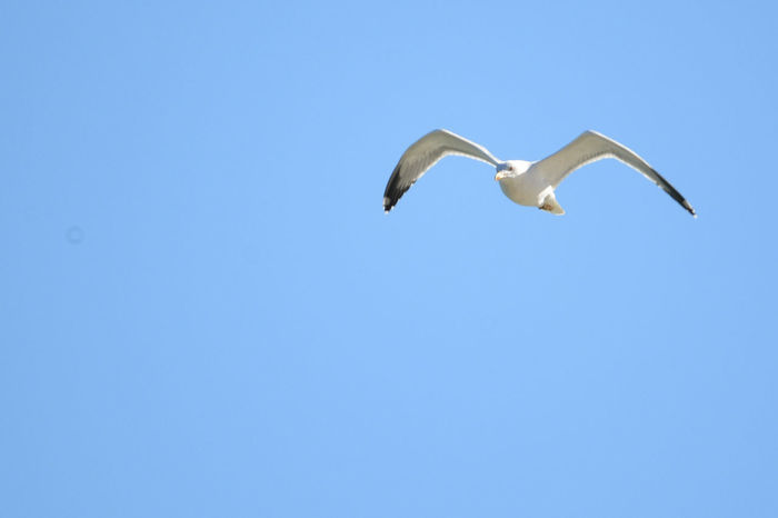 Animal Themes Animal Wildlife Animals In The Wild Beauty In Nature Bird Blue Clear Sky Copy Space Day Flying Low Angle View Nature No People One Animal Outdoors Seagull SEAGULL IN FLIGHT Sky Spread Wings Animals🐾