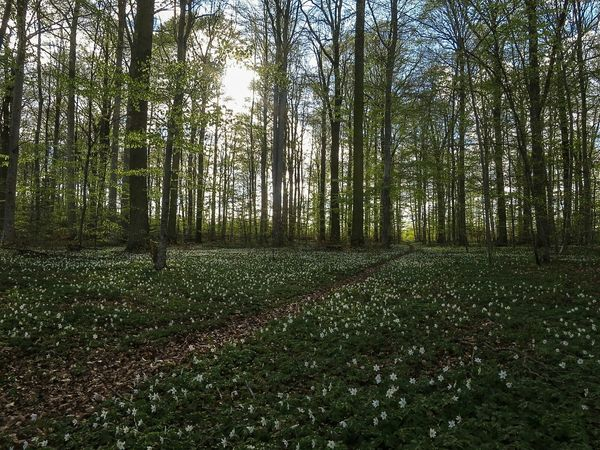 Forest Wood Anemones Evening Light Spring Flowers Cycling Commuting
