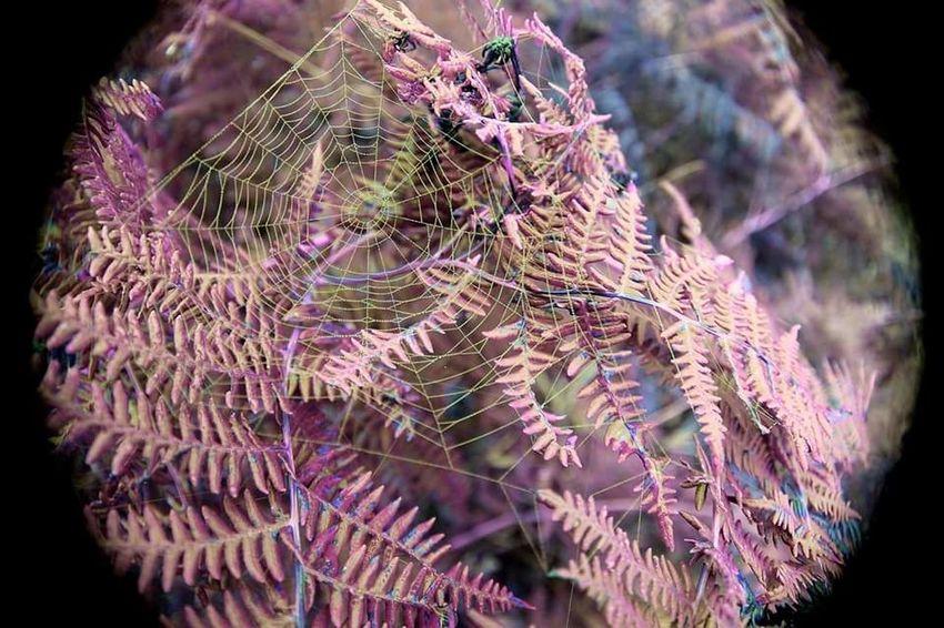 Pink Leaves Spiderweb Ferns Spider Webs and Ferns at Entwistle Reservoir.