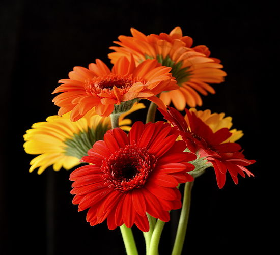 Red, orange & Yellow gerberas Beauty In Nature Black Background Close-up Flower Flower Head Flowering Plant Fragility Freshness Gerbera Daisy Nature No People Orange Color Petal Plant Red And Orange Flowers Studio Shot Vulnerability