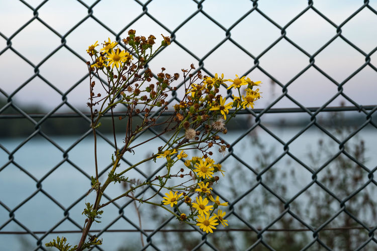 Abberton Resevoir Layer Breton Beauty In Nature Chainlink Fence Close-up Colchester Day Flower Flower Head Focus On Foreground Fragility Freshness Metal Nature No People Outdoors Plant Protection Safety Sky Yellow The Week On EyeEm Paint The Town Yellow