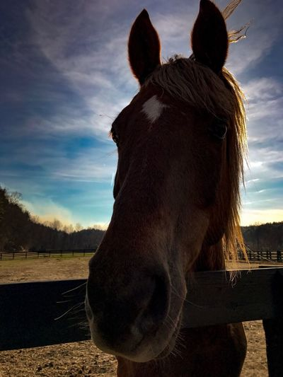 Domestic Animals One Animal Horse Animal Themes Mammal Sky Field Animal Head  Livestock Landscape Close-up Grass No People Day Nature Outdoors