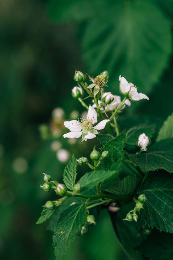 Rosaceae Beauty In Nature Blackberries Blackberry Crumble Day Flower Flower Head Fragility Freshness Green Color Growth Laciniatus Leaf Nature Petal Pie Plant Rubus
