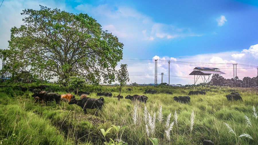 home coming Landscape Wilder Beast Buffalo Blue Sky Tree And Grass Grassland Under Sunlight Grassland Buffalo In Grassland Sky Tree Nature Cloud - Sky Growth Green Color Day Water No People Outdoors Land Grass Sunlight Beauty In Nature Environment Animal