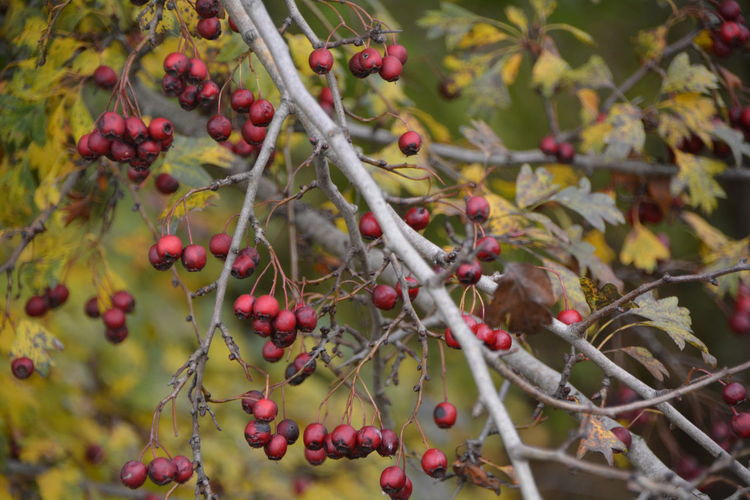 Close-Up Of Rowanberries Growing On Branches
