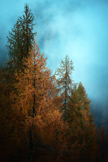 larches trees
