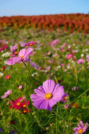 2014 Autumn Beauty In Nature Close-up Cosmos Day Field Flower Flower Head Hitachi Seaside Park Landscape Nature Outdoors Pink Pink Color Plant コスモス コスモス畑 国営ひたち海浜公園 花畑 茨城