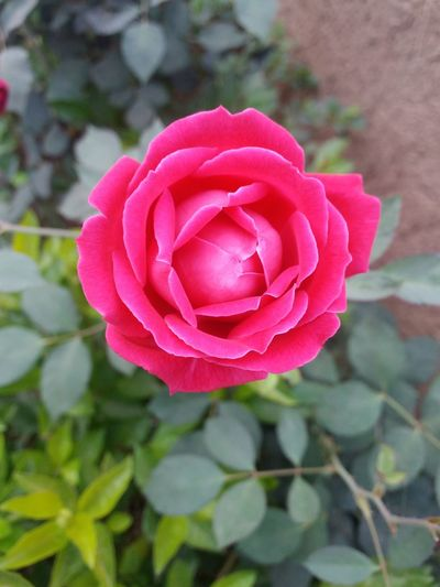 Mobilephotography Flower Petal Pink Color Rose - Flower Plant Nature Fragility Focus On Foreground