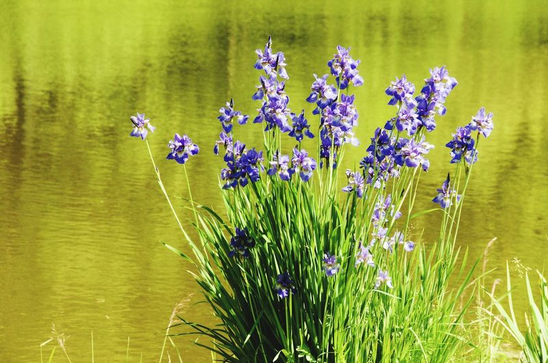 Iris Iris - Plant Flower Water Lake Plant Water Plant In Bloom Plant Life Blossom