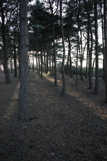 Beauty In Nature Chobham Common Day Forest Growth Nature No People Outdoors Pine Woodland Scenics Shafts Of Sunlight Sky Sunlight Through Trees Surrey Countryside Tranquil Scene Tree Tree Trunk Walking