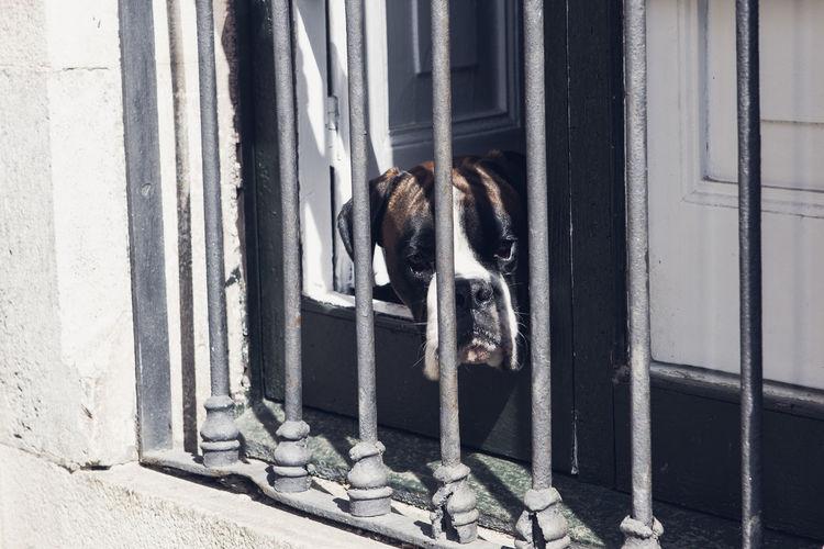 Boxer dog looking through window