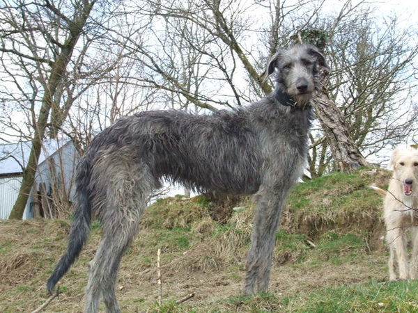 Wisdom and Majesty Deerhound Dog Gentle Giant Giant Majestic Mammal Nature No People Pets Scottish Deerhound