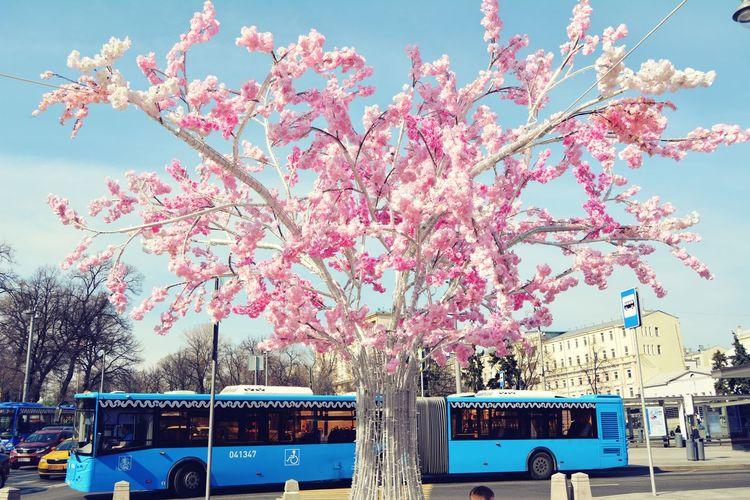 Сакура сакура красная площадь Buzzing Москва Flower Land Vehicle Nautical Vessel Car