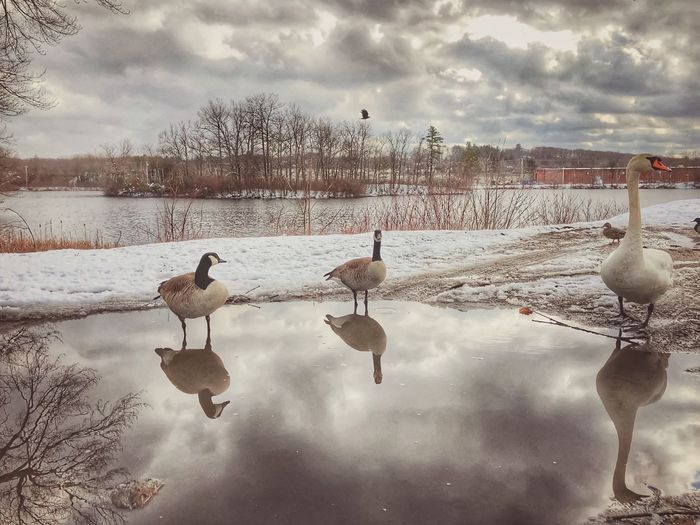 Winter Reflections at Arcade Pond Bird Water Sky Animal Themes Cloud - Sky Animals In The Wild Vertebrate Nature Beauty In Nature Animal Wildlife Group Of Animals Reflection Outdoors Tranquility No People Animal Day Land