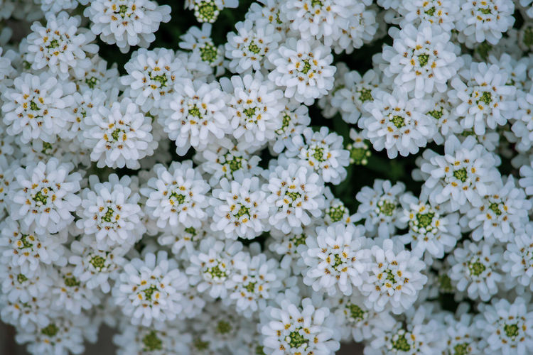 Full frame shot of white flowering plants
