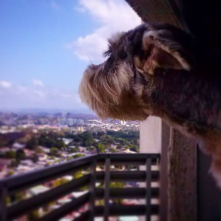 Good day world! FionaSchnauzer Schnauzerlove I Love My Dog Mydog Minischnauzer