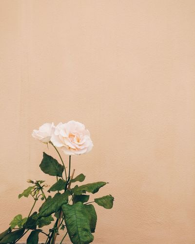 Simplicity Simple Photography Nature_collection Flower Collection Garden Photography Urban Gardening Romantic Minimalism Minimal Minimalist Flowering Plant Flower Head Flower Beach Sand Desert Leaf Close-up Plant Green Color Flowering Plant Botanical Garden Plant Part In Bloom