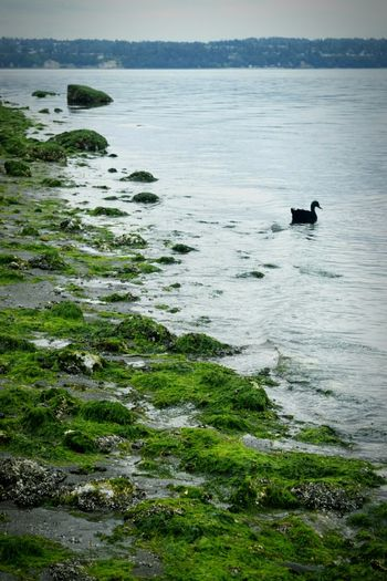 Water Nature Pudget Sound Vashon Island Duck Seaweed Low Tide Waves Rocks Bird July Showcase