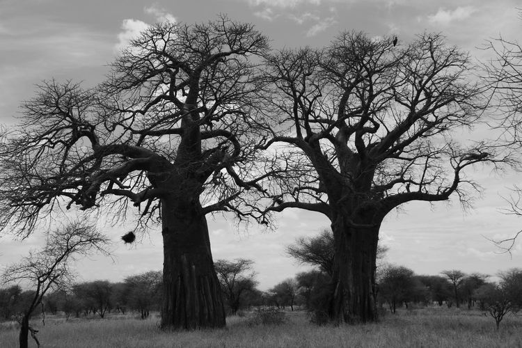 Couple Tanzania Tarangire Baobab Baobab Trees Bare Tree Blackandwhite Photography Landscape No People Outdoors Tarangire National Park Tree Two