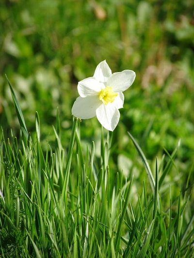 Нарцисс лето Природа урал