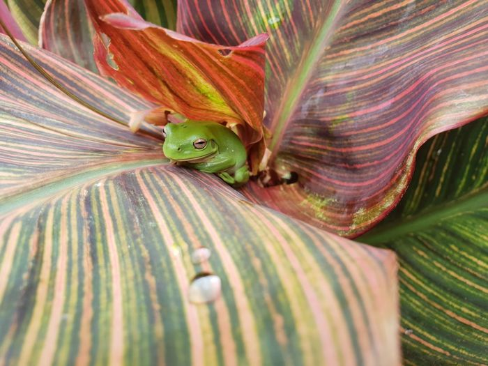 Green Tree Frog Australia Tropical Tropical Climate Tropical Paradise Bright Colors Vibrant Color Backyard Backyardphotography Lush Foliage Tropicana Plant Amphibian Photography Green Frog Close-up Plant Blooming