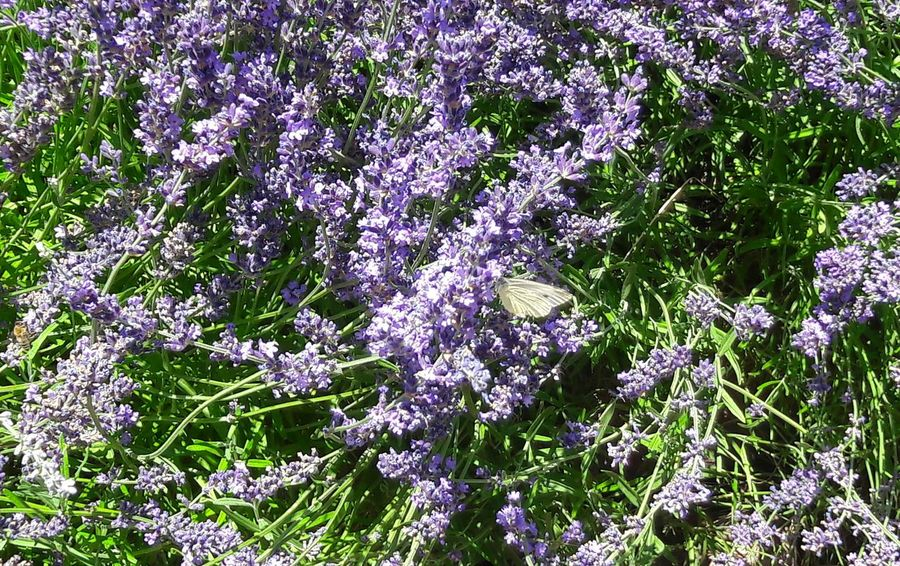 Nature Outdoors No People Day Beauty In Nature Growth Plant Flower Backgrounds Close-up Gardening Garden Flowers Freshness Lavender Colored Lavender Flowers Butterflies