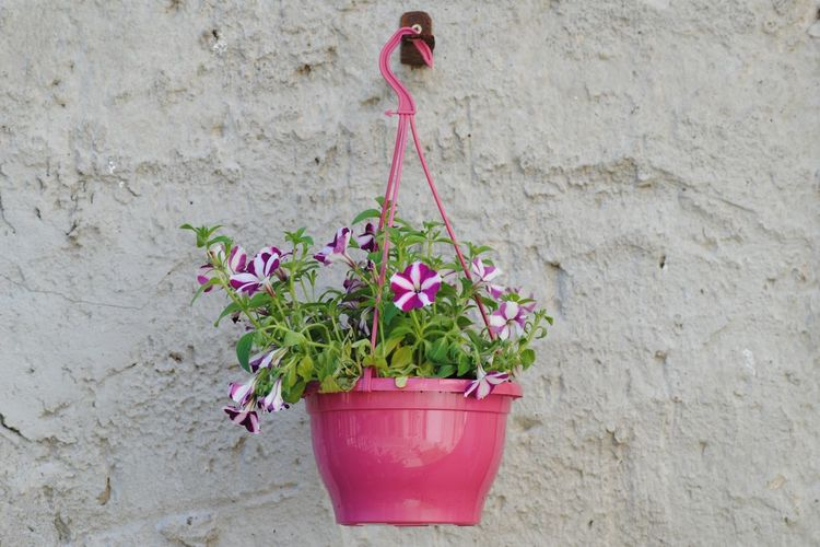 Potted petunia flowers hanging on wall