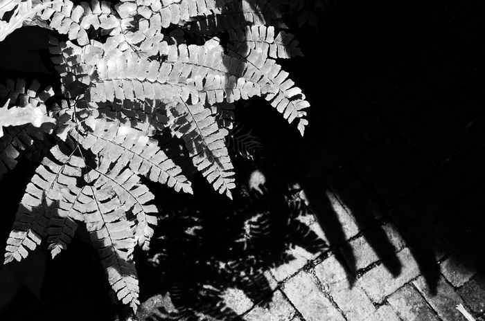 ferns black&white contrast photo Black And White Ferns Garden Leaves Outdoors Pattern Shadow Textures And Surfaces Copy Space