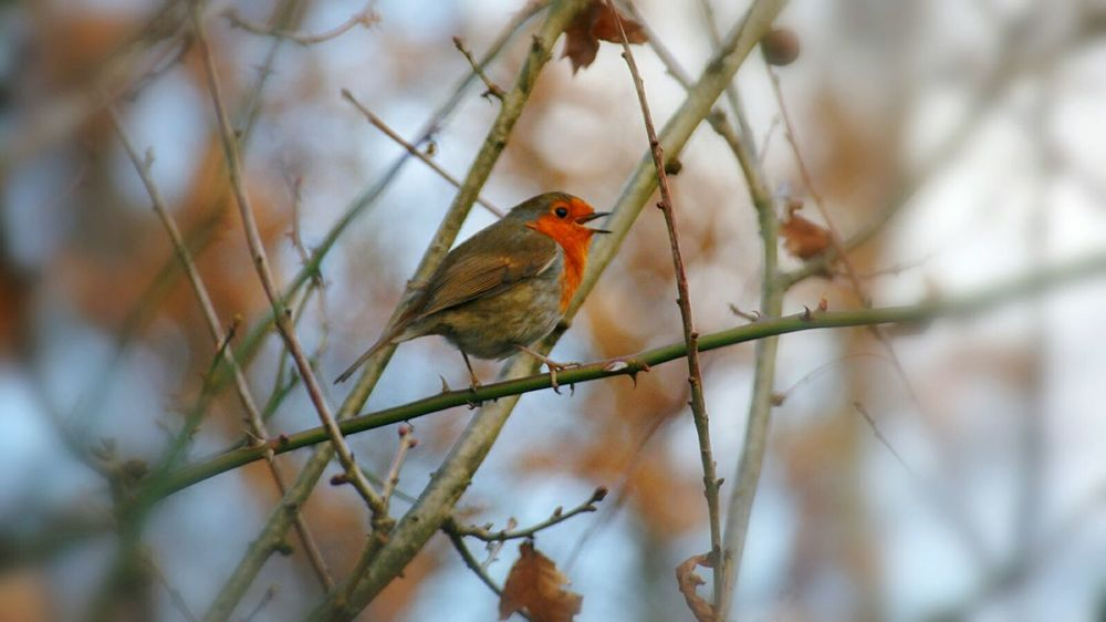 Robin Robin Redbreast Bird Singing Perching Bird One Animal Animal Themes Animal Wildlife Animals In The Wild Nature Branch No People Outdoors Beauty In Nature Day