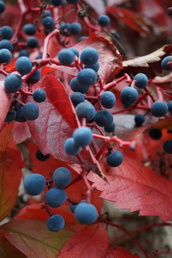 Close-up of berries