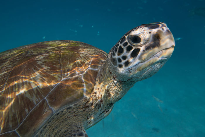 Animal Themes Animal Wildlife Animals In The Wild Close-up Day Nature No People One Animal Outdoors Reptile Sea Sea Life Sea Turtle Swimming Tortoise Tortoise Shell UnderSea Underwater