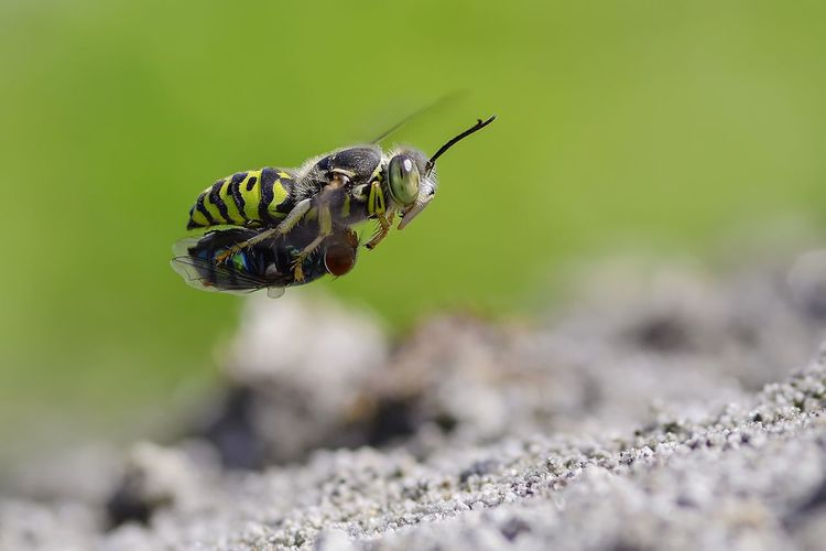sand wasp with