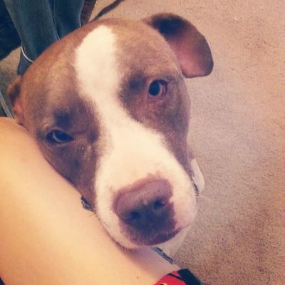 Chancey boy Chance Goodboy Lovemypits Pitbullsofig pitbullnation pitlove mybabies