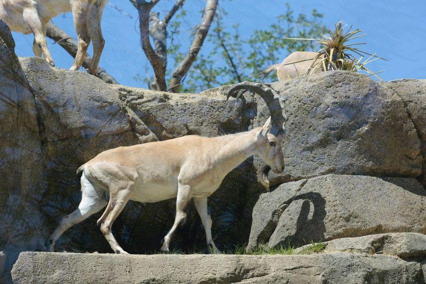 JGLowe Horns Goat Sheep Mammal Animal Animal Themes Domestic Animals Vertebrate Plant Tree Nature Sunlight Day No People Animal Wildlife Sky Standing Outdoors