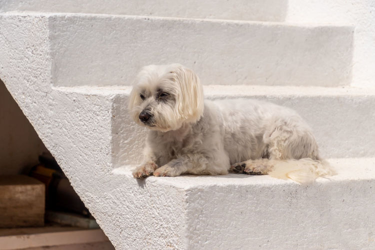 White dog lying on wall