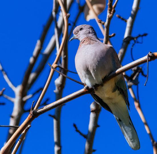 A dove perched