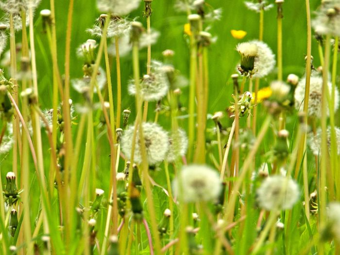Flower Growth Flowering Plant Fragility Beauty In Nature Outdoors Flower Head Selective Focus No People Meadow Dandelion Day Field Nature Vulnerability