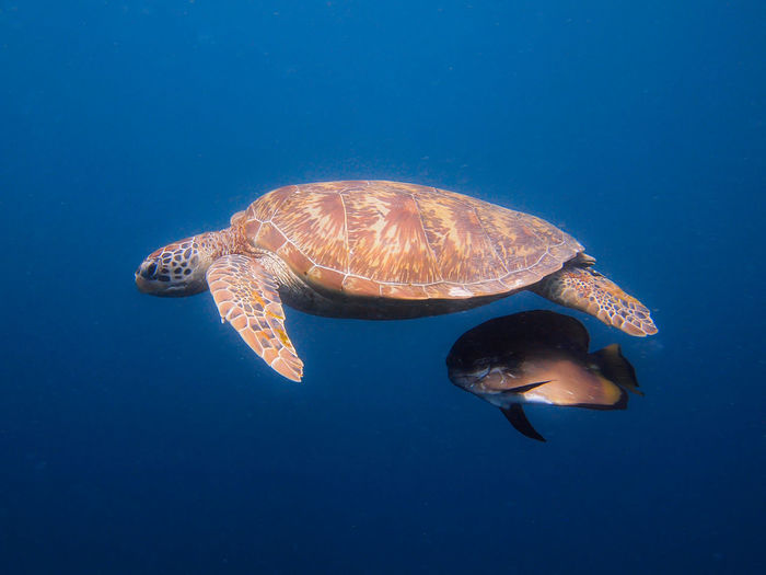 Side view of turtle underwater