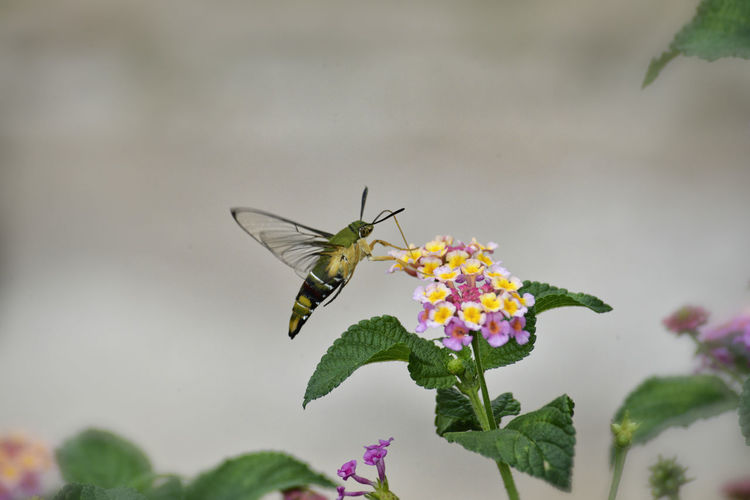 Hummingbird hawk-moth hovering over lantana camara