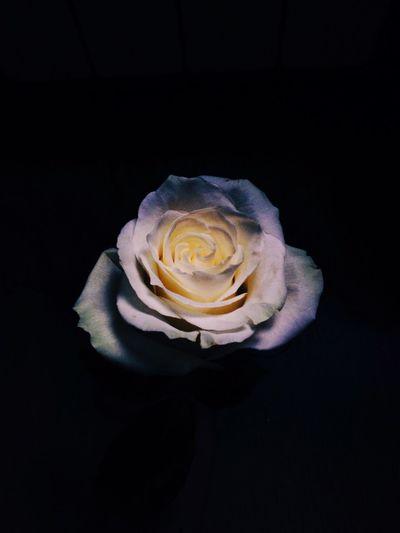 Rose🌹 Flower Vscocam VSCO Vscogood VSCO Cam Light Morning Minimalism