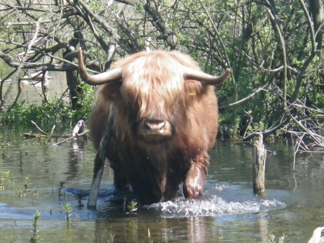 Wissent Wissent Buffalo Scottish Highlander Kennemerduinen North Holland