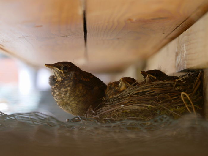 Blackbird hatchlings Animals Bird Blackbird Fledgling Hatchling Nature No People Outdoors Perching Young Animal Bird Nest Taking Photos Place Of Heart Exceptional Photographs EyeEm Best Shots Animal Themes The Great Outdoors - 2017 EyeEm Awards Close-up Animals In The Wild Blackbird Hatchlings Macro Togetherness