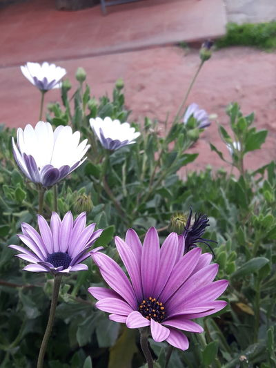 flowers Flower Flowering Plant Plant Freshness Beauty In Nature Fragility Growth Pink Color Flower Head Purple Nature Close-up