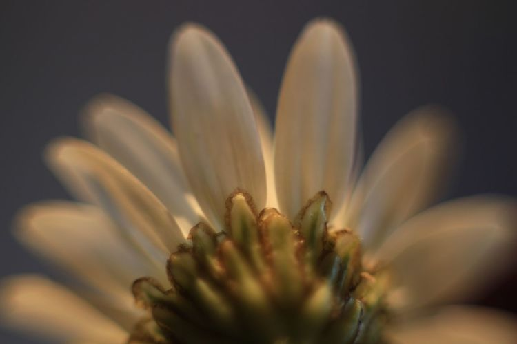 """""""Behind the scenes"""" - Flower Growth Fragility Freshness Close-up Macro Macro Photography Macro Beauty Flower Head Beauty In Nature No People Nature Plant Outdoors Oxeye Daisy Oxeye Daisy Flower Oxeye Petal Summer Summertime Summerflower EyeEmNewHere"""