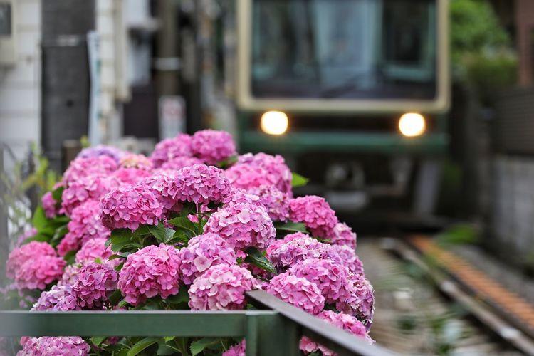 전차와 수국이 있는 풍경 2 . . #하루한컷 #수국 #전차 #가마쿠라 #하세역주변 #일본 #5DMARK4 #새아빠백통 #EF70200F28LIIISUSM Flower Pink Color City Architecture Close-up Building Exterior Built Structure Plant