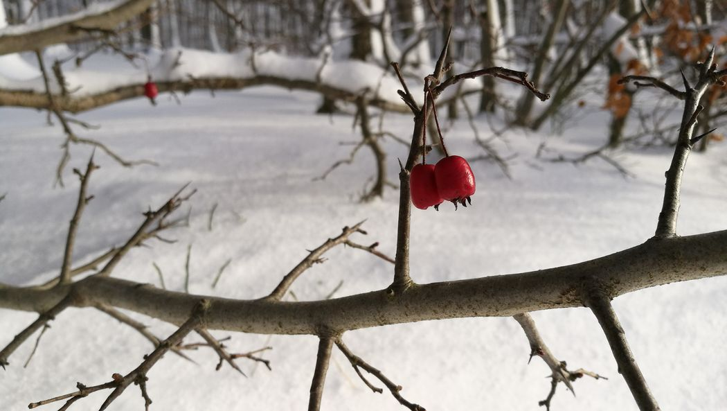 Winter Tree Red Branch Hanging Snow Christmas No People Twig Cold Temperature Fruit Outdoors Nature Day Bare Tree Beauty In Nature Close-up Shades Of Winter