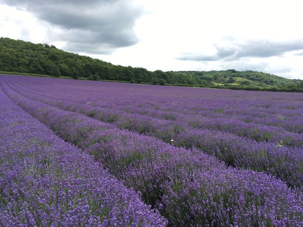 Hop Shop Lavender Purple Lavender Field Lavender Colored Growth Flower Outdoors Beauty In Nature Eyeemphotography Blooming