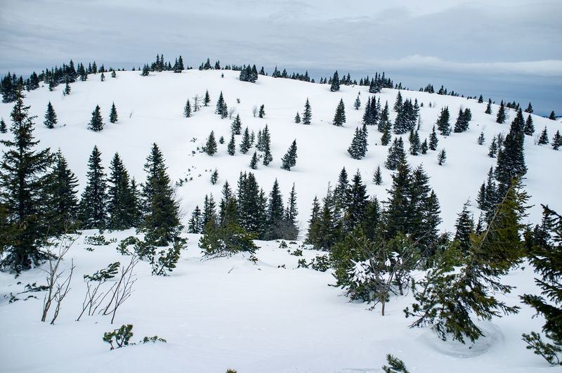 Snow Winter Cold Temperature Plant Tree Beauty In Nature Tranquil Scene Scenics - Nature Tranquility Covering Mountain Nature White Color Land No People Non-urban Scene Day Growth Pine Tree Coniferous Tree Snowcapped Mountain